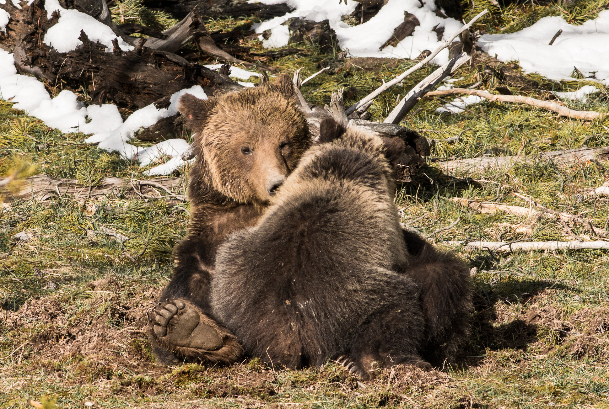 Grizzly Bear and cub Valley Girl near Roaring Mountain Yellowstone National Park WY-06636