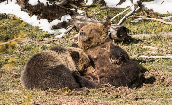 Grizzly Bear and cub Valley Girl near Roaring Mountain Yellowstone National Park WY-06661