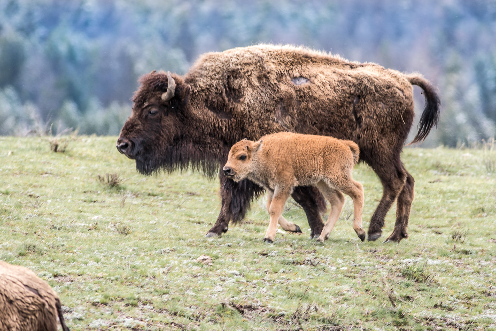 Bison and red dog calf Yellowstone National Park WY -05030