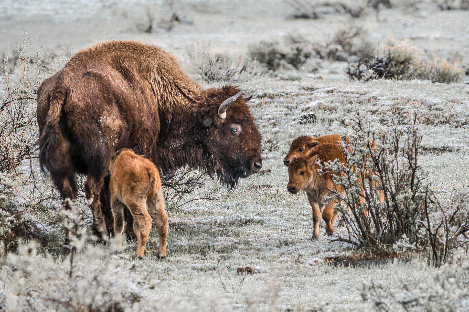 Bison and three calves Yellowstone National Park WY -04779