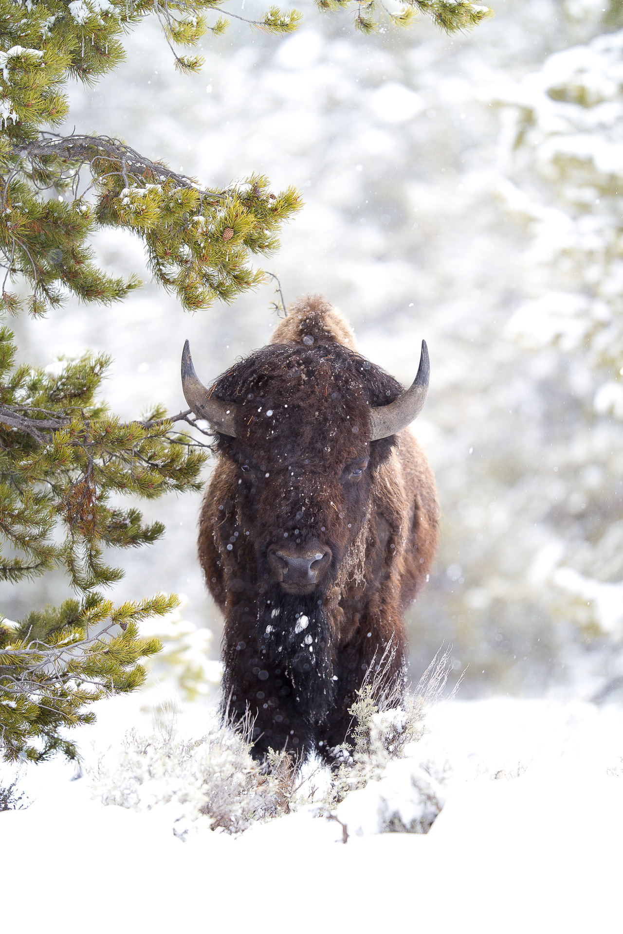 Bison head on snowy woods Canon 200mm f2 lens Yellowstone National Park WY Sparky Stensaas-0238