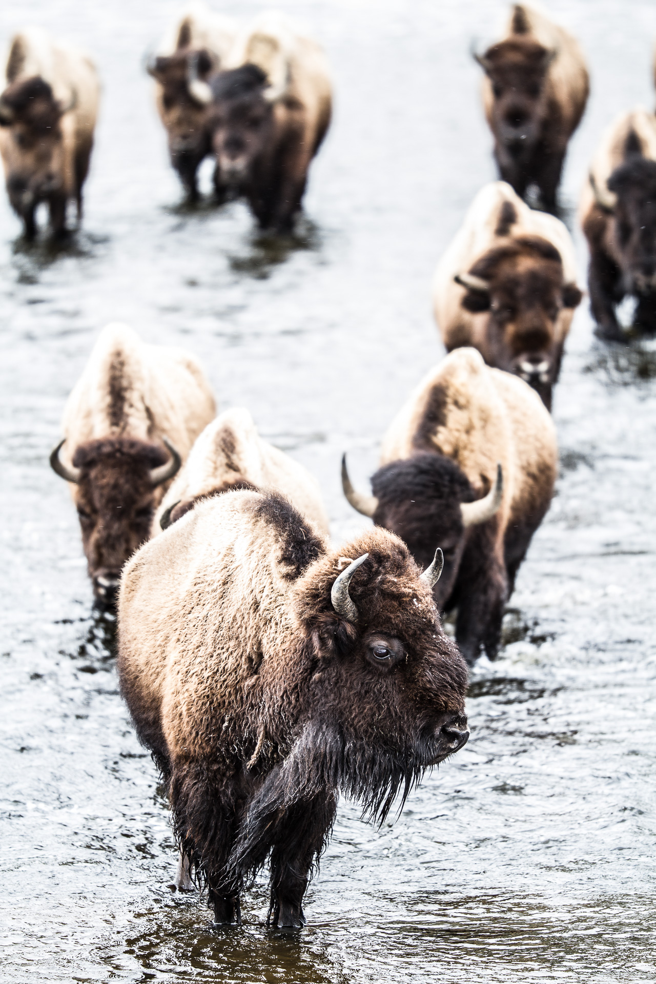 Bison heard formation crossing river Canon 200mm f2 lens Yellowstone National Park WY Sparky Stensaas-0300