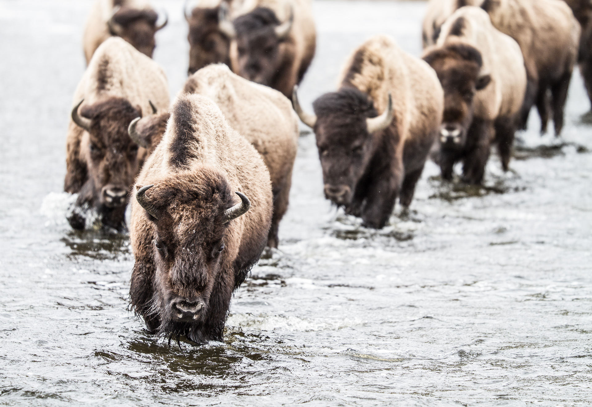 Bison heard formation crossing river low angle Canon 200mm f2 lens Yellowstone National Park WY Sparky Stensaas-0296