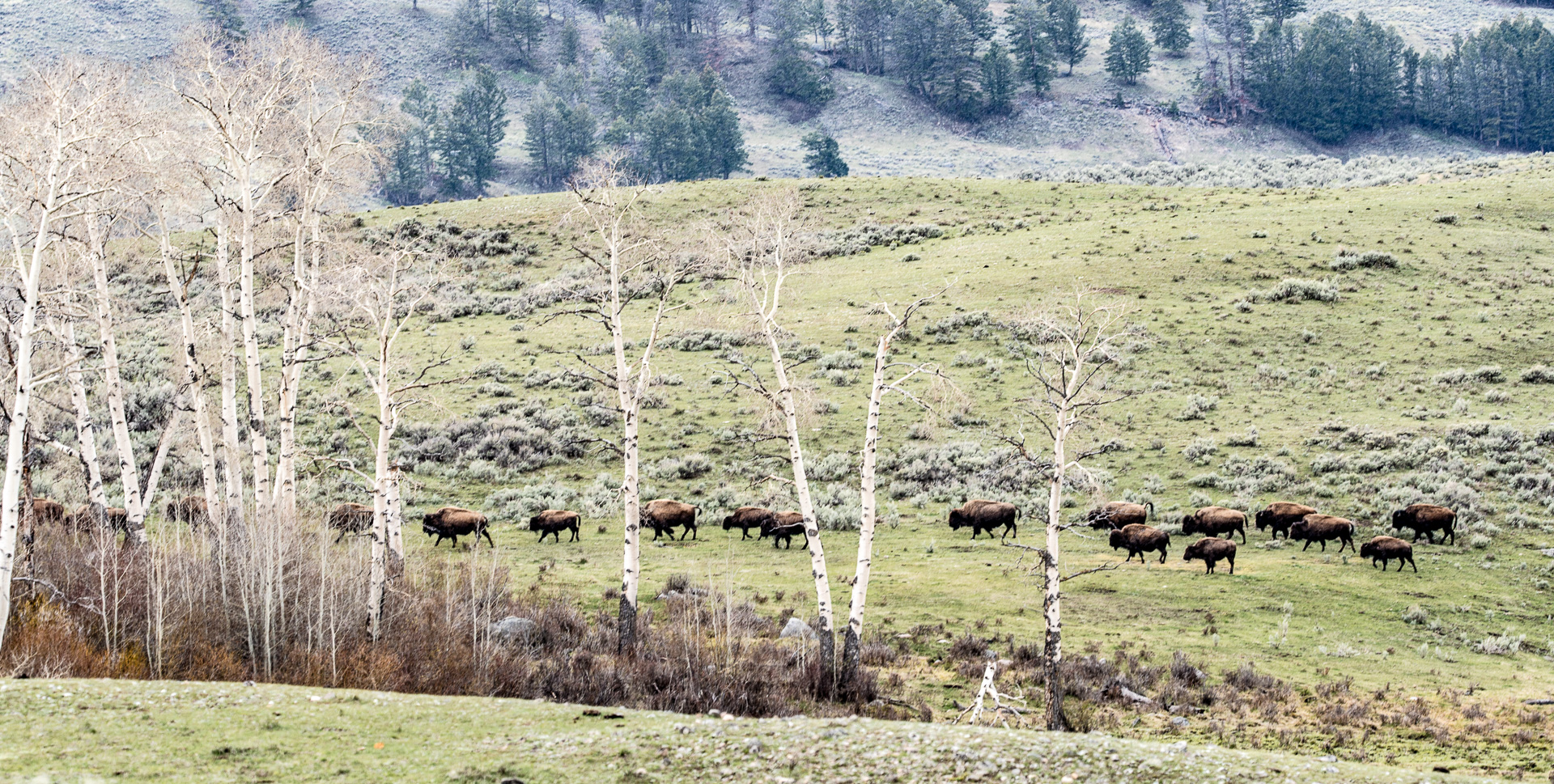 Bison herd aspens wide Canon 200mm f2 lens Yellowstone National Park WY Sparky Stensaas-05004
