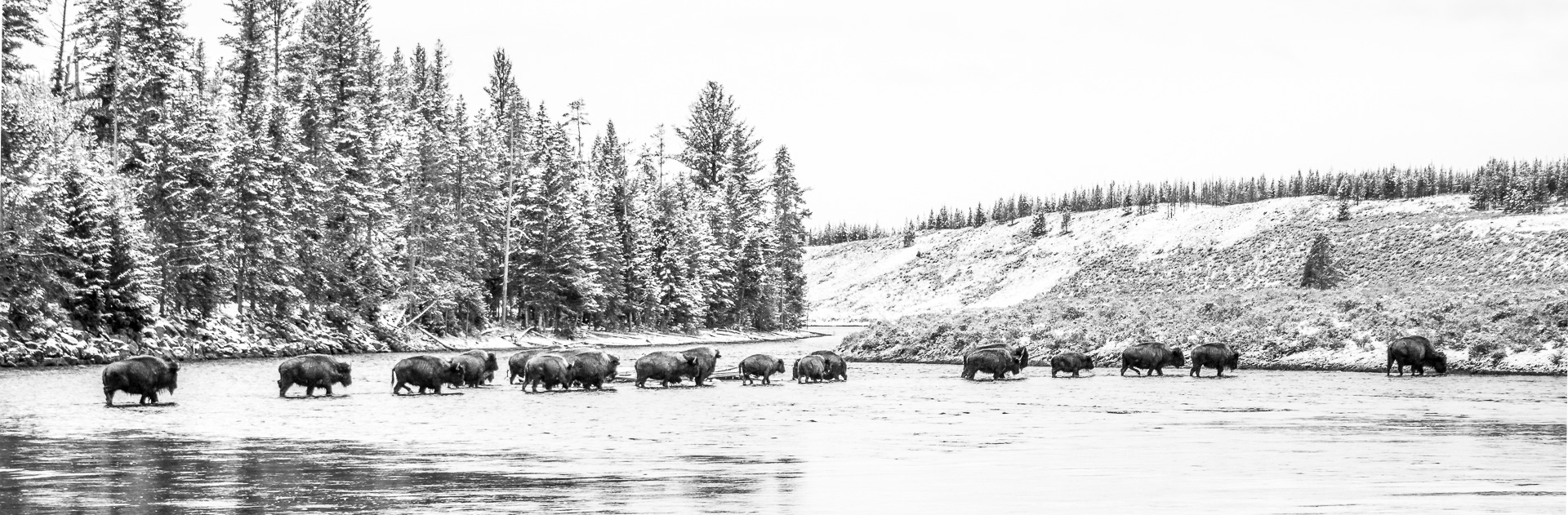 Bison herd crossing B&W Madison River Yellowstone National Park WY -05215