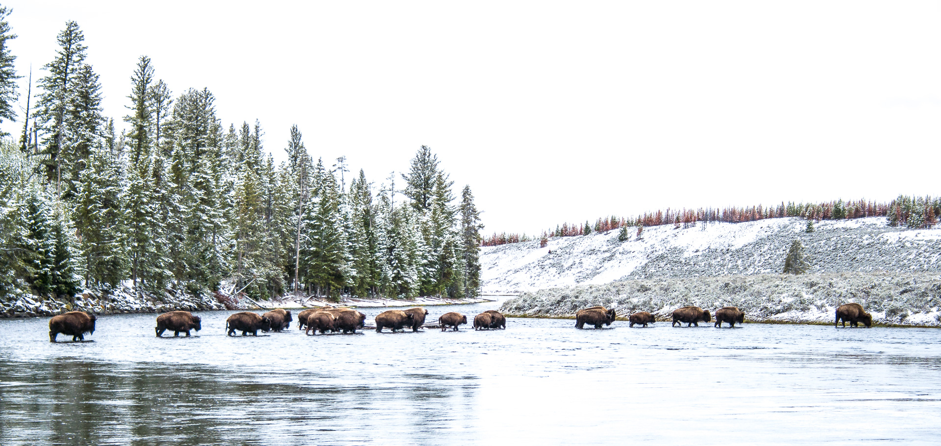 Bison herd crossing COLOR Madison River Yellowstone National Park WY -05214