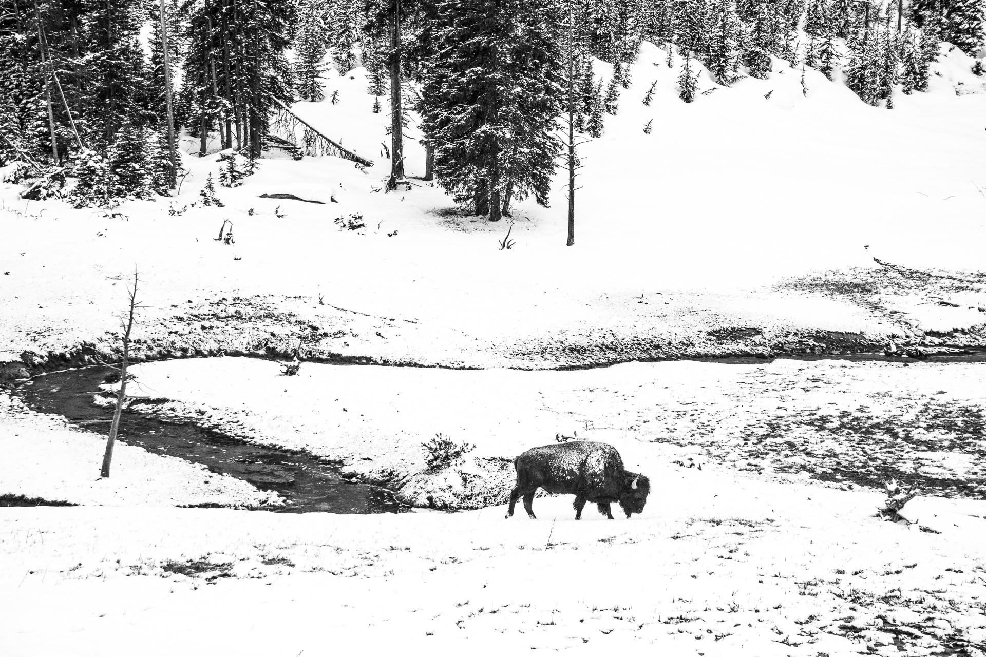 Bison high key snow Yellowstone National Park WY -05160