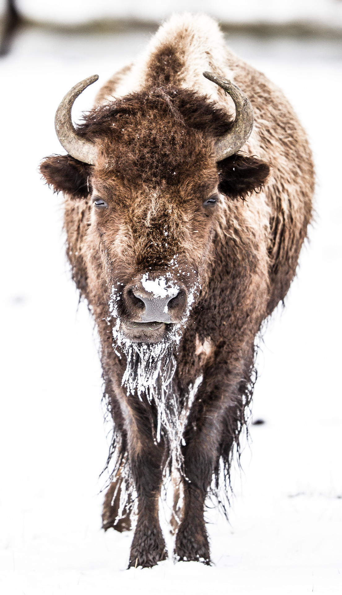 Bison snowy head on Canon 200mm f2 lens Yellowstone National Park WY Sparky Stensaas-0075