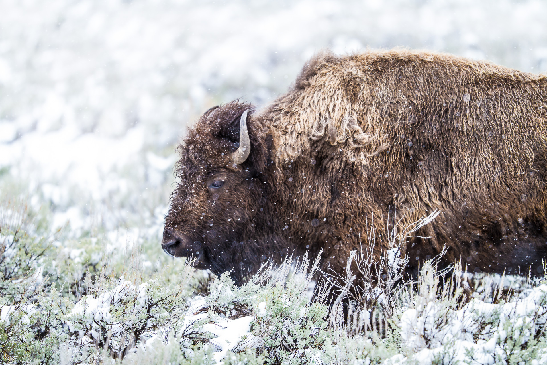 Bison snowy sagebrush Canon 200mm f2 lens Yellowstone National Park WY Sparky Stensaas-0045