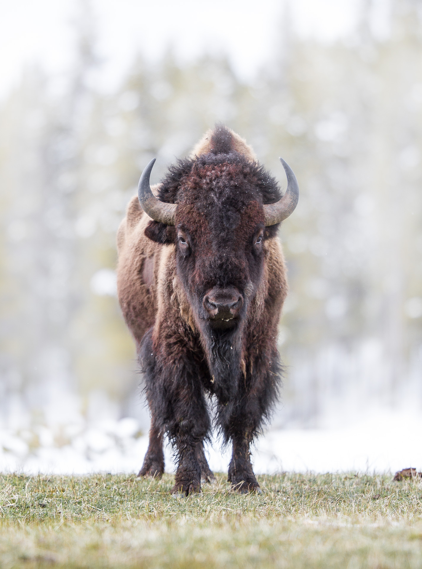 Bison standing facing me Canon 200mm f2 lens Yellowstone National Park WY Sparky Stensaas-0521