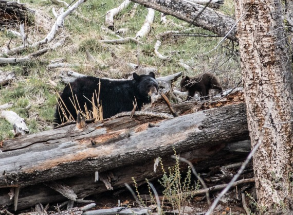 Black Bear and brown cub Yellowstone National Park WY -05072
