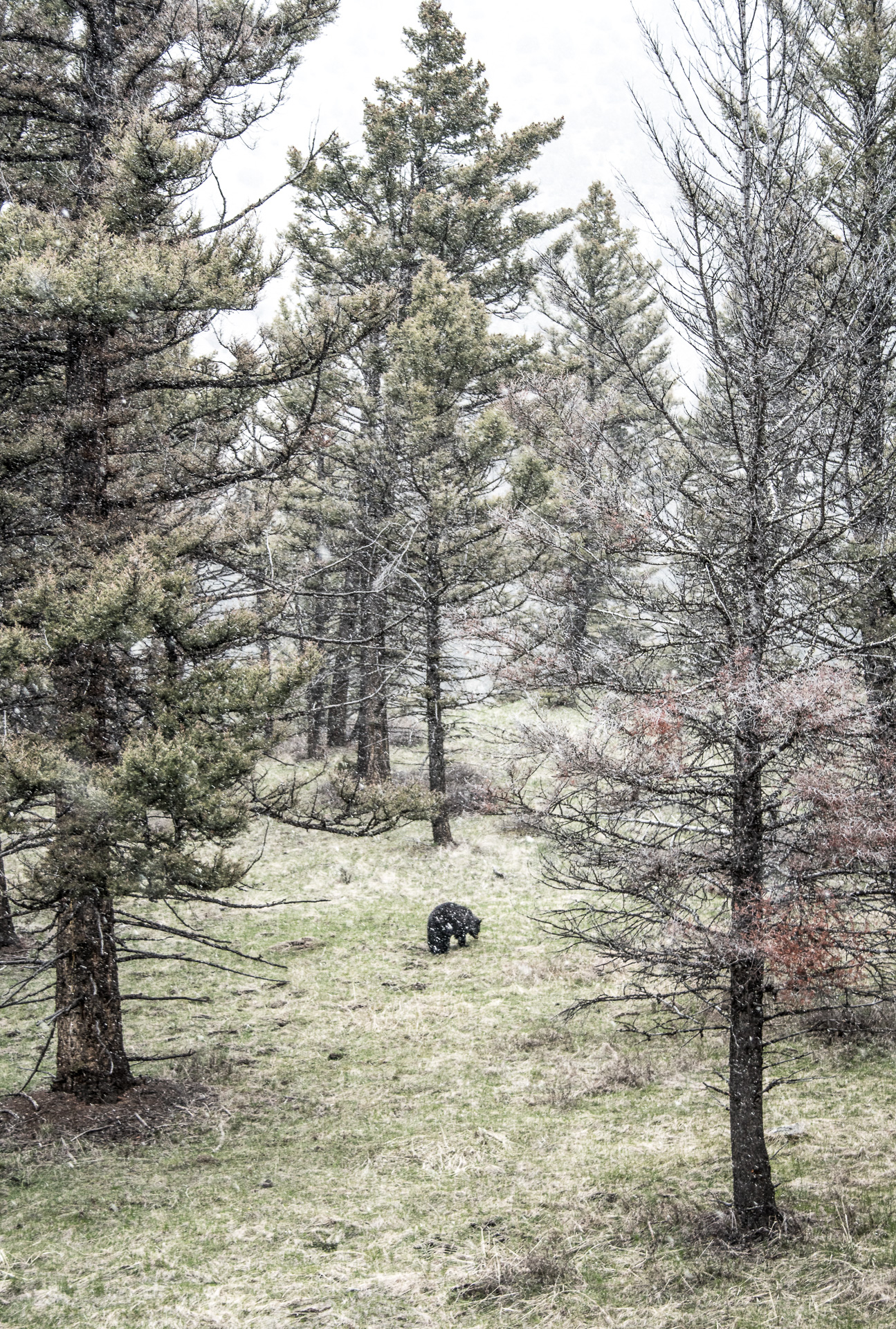 Black Bear in pines wide snow Yellowstone National Park WY -05115