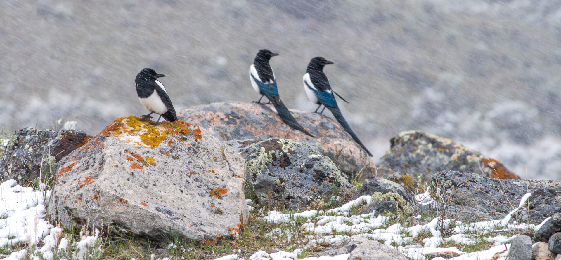 Black-billed Magpie trio on rocks in snow Yellowstone National Park WY -04872