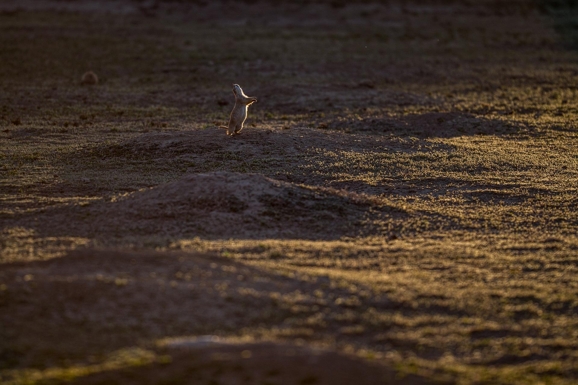 Black-tailed Prairie Dog Teddy Roosevelt National Park ND-1040