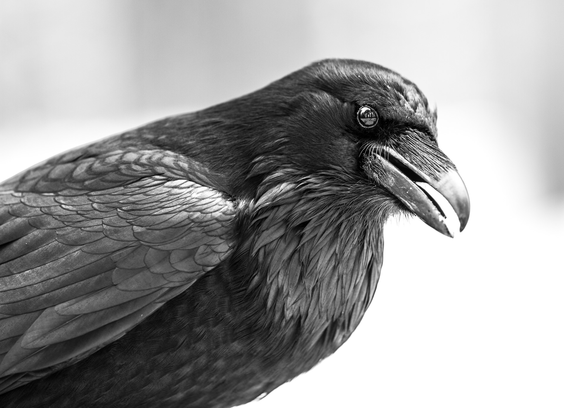 Common Raven black and white Canon 200mm f2 lens Yellowstone National Park WY Sparky Stensaas-0368