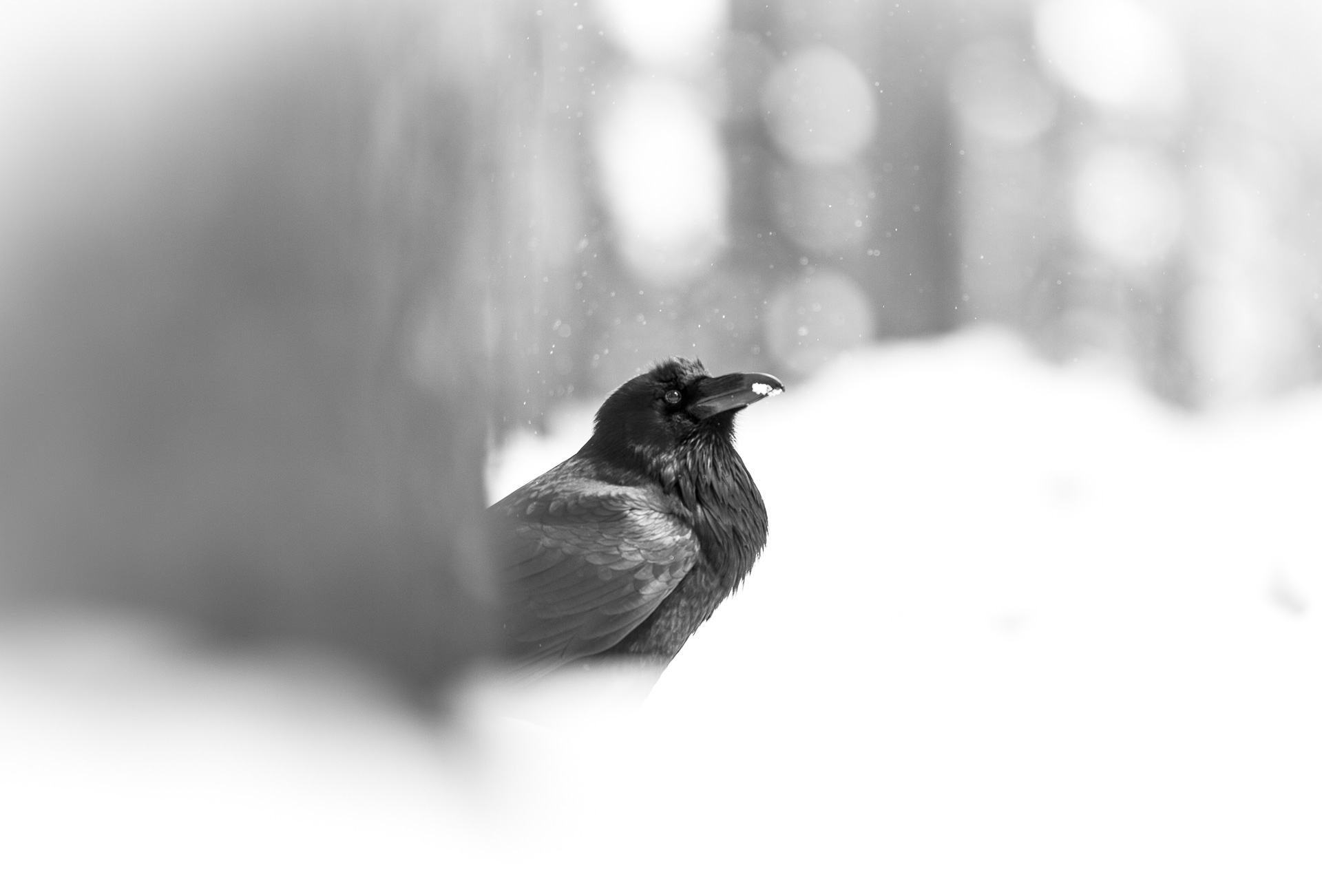 Common Raven snow falling black and white Canon 200mm f2 lens Yellowstone National Park WY Sparky Stensaas-0335