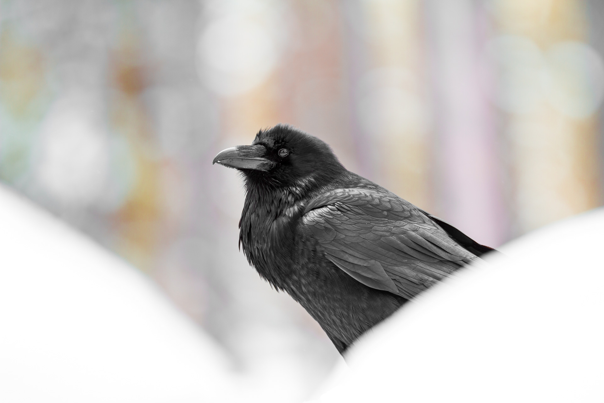 Common Raven snow rainbow background Canon 200mm f2 lens Yellowstone National Park WY Sparky Stensaas-0353