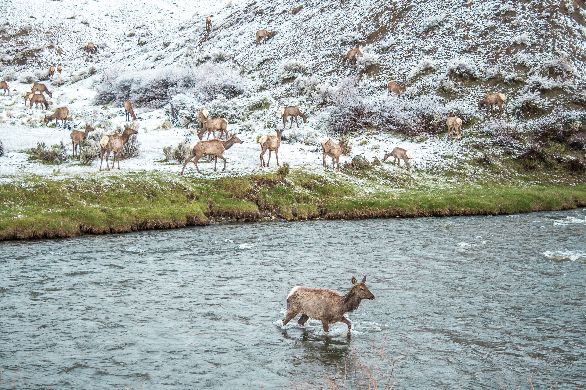 Elk herd along Yellowstone River wide Yellowstone National Park WY -04788