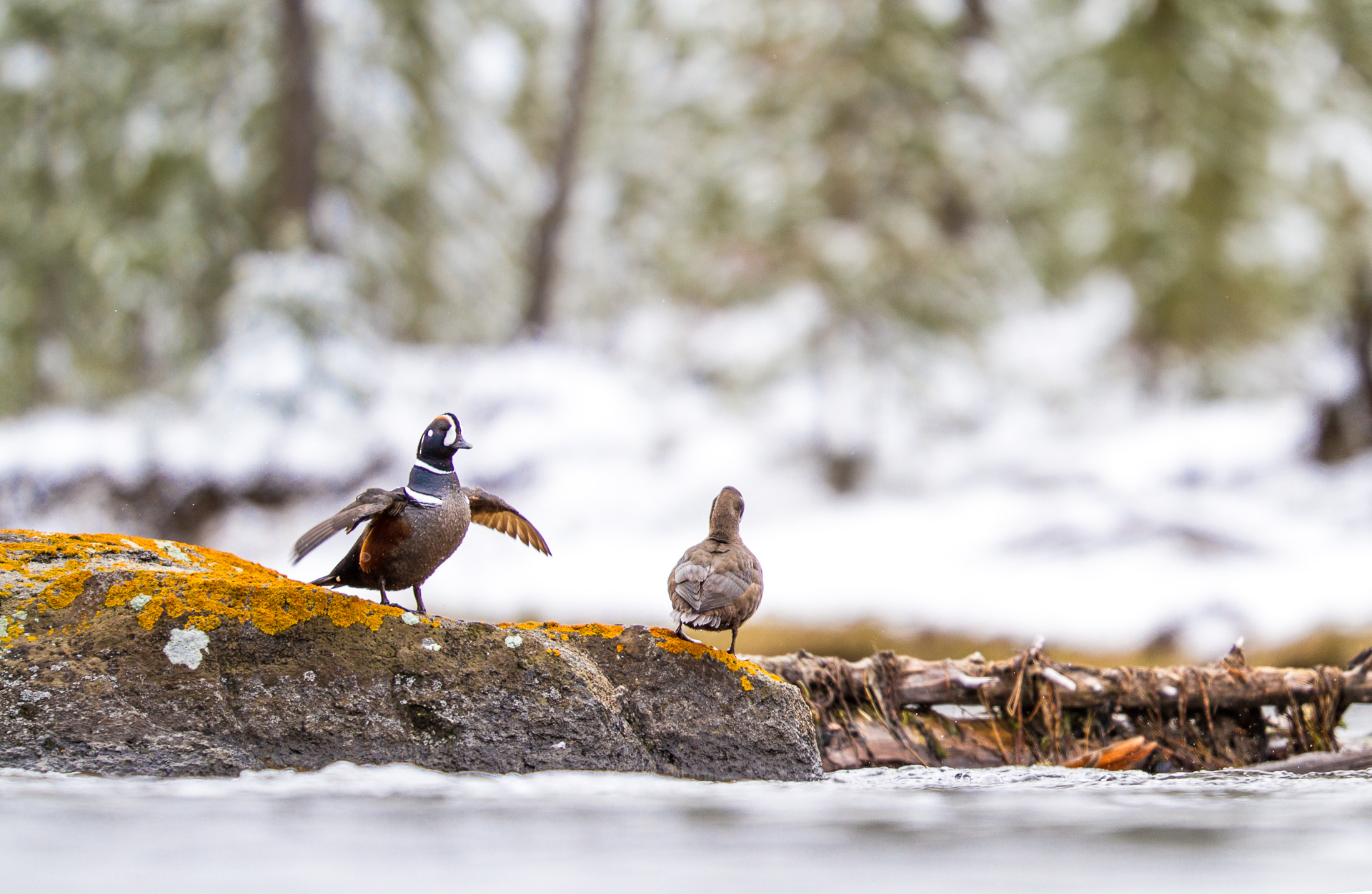Harlequin Duck pair male female low angle Madison River Canon 200mm f2 lens Yellowstone National Park WY Sparky Stensaas-0187