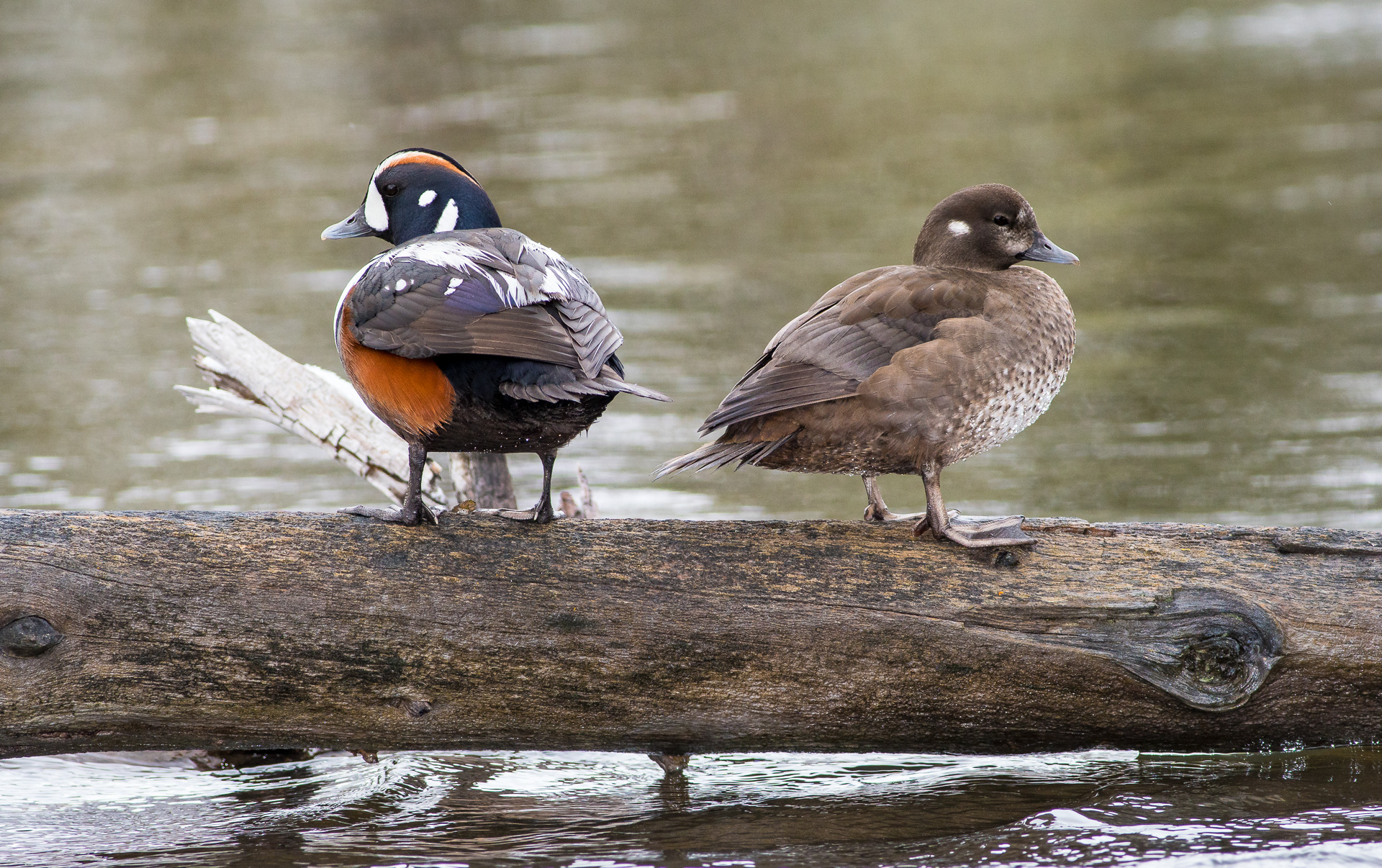 Harlequin Duck pair on log Madison River Yellowstone National Park WY -05557