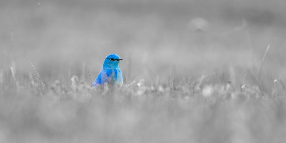 Mountain Bluebird eye-level grass B&W spot color Yellowstone National Park WY -04955