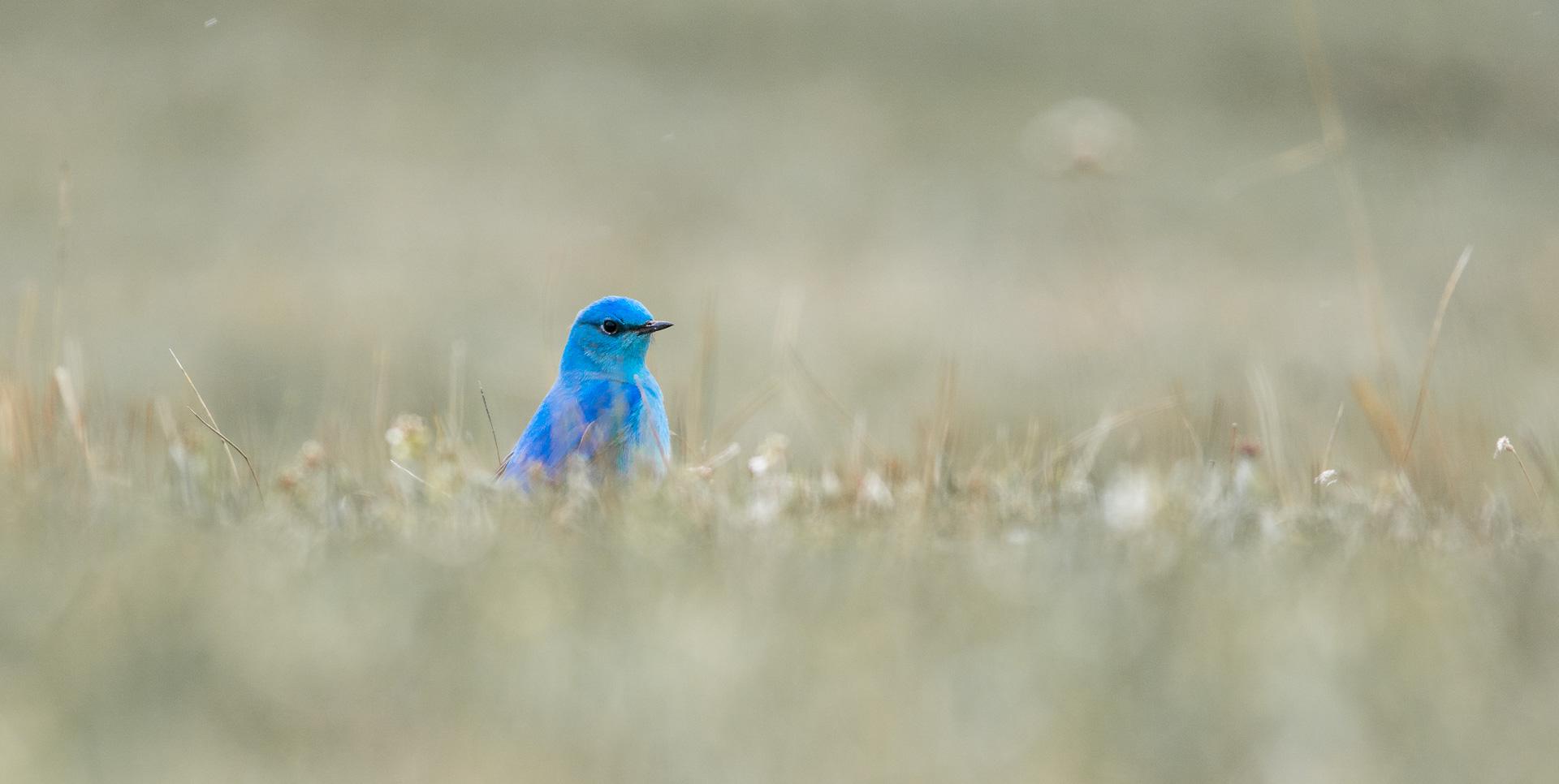 Mountain Bluebird eye-level grass MUTED Yellowstone National Park WY -04955