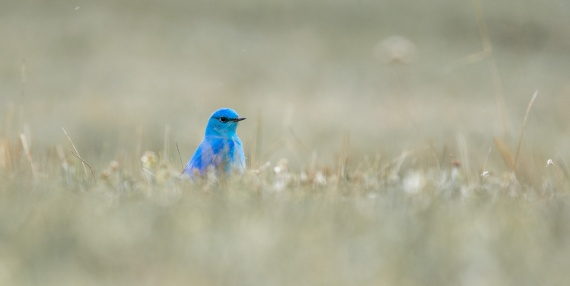 Mountain Bluebird eye-level grass MUTED Yellowstone National Park WY -04955