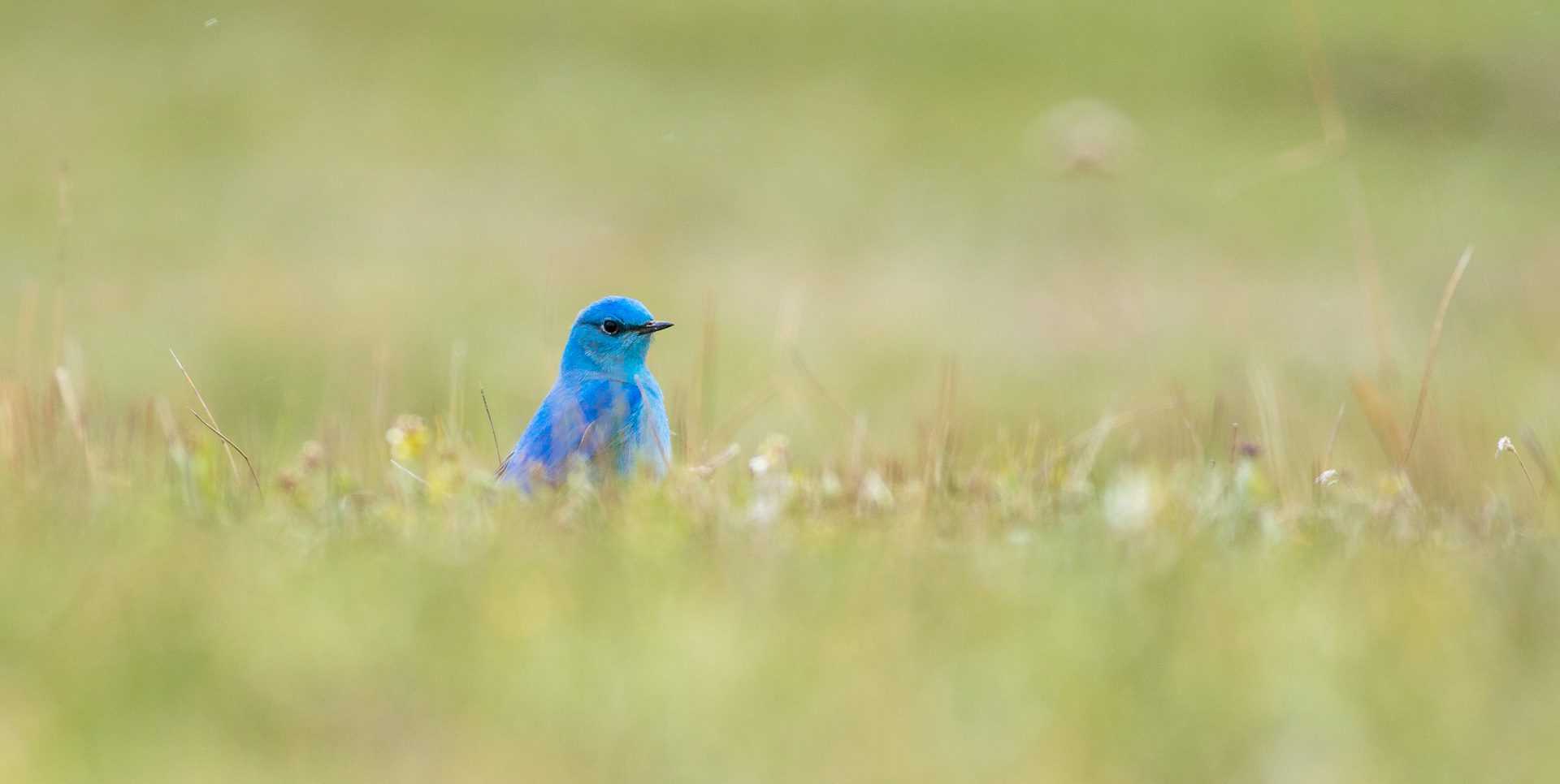 Mountain Bluebird eye-level grass SATURATED spot color Yellowstone National Park WY -04955