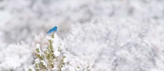 Mountain Bluebird on pine in snowy background Yellowstone National Park WY -04865
