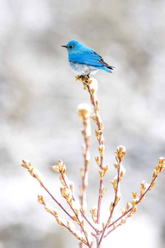 Mountain Bluebird on shrub in snowy background Yellowstone National Park WY -04846