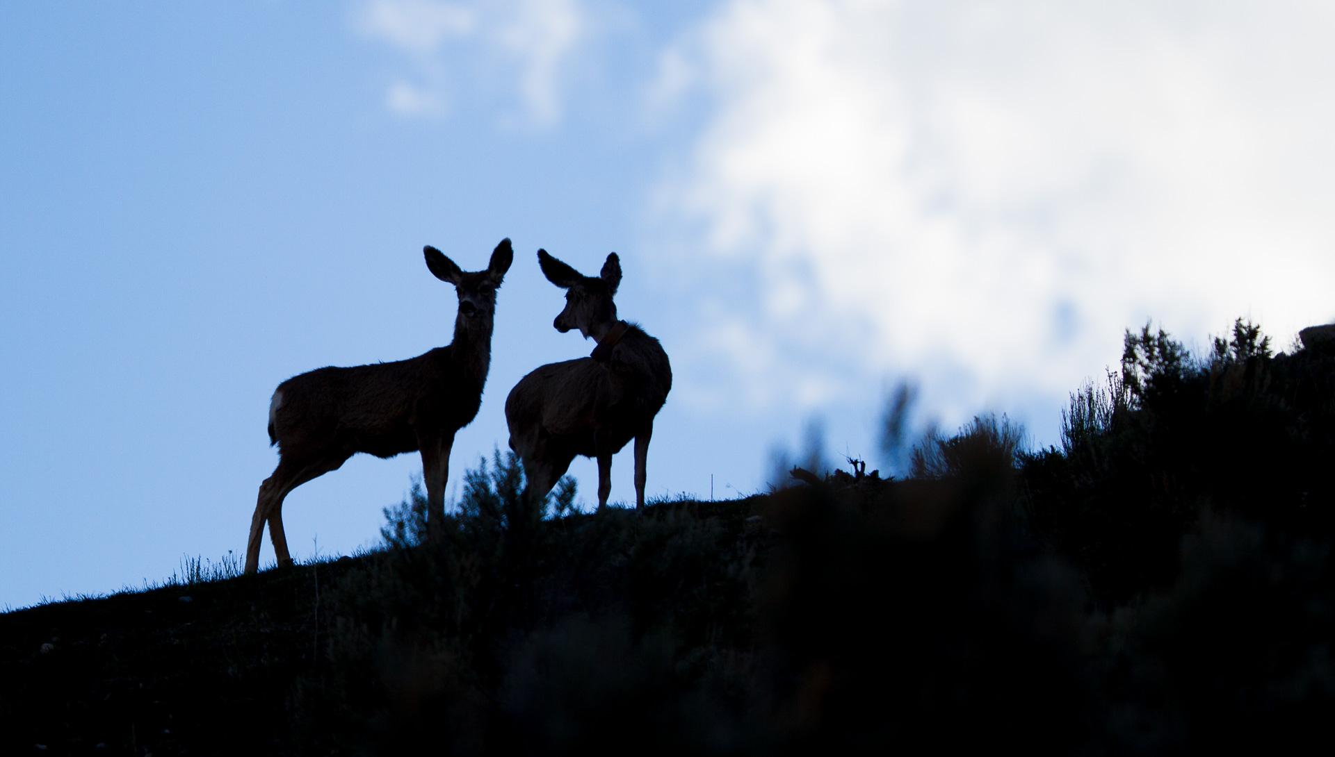 Mule Deer silhouette Teddy Roosevelt National Park ND-0814