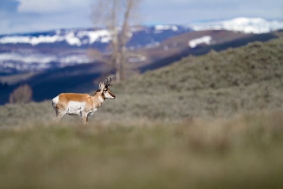 Pronghorn broadside Canon 200mm f2 lens Yellowstone National Park WY Sparky Stensaas-0699