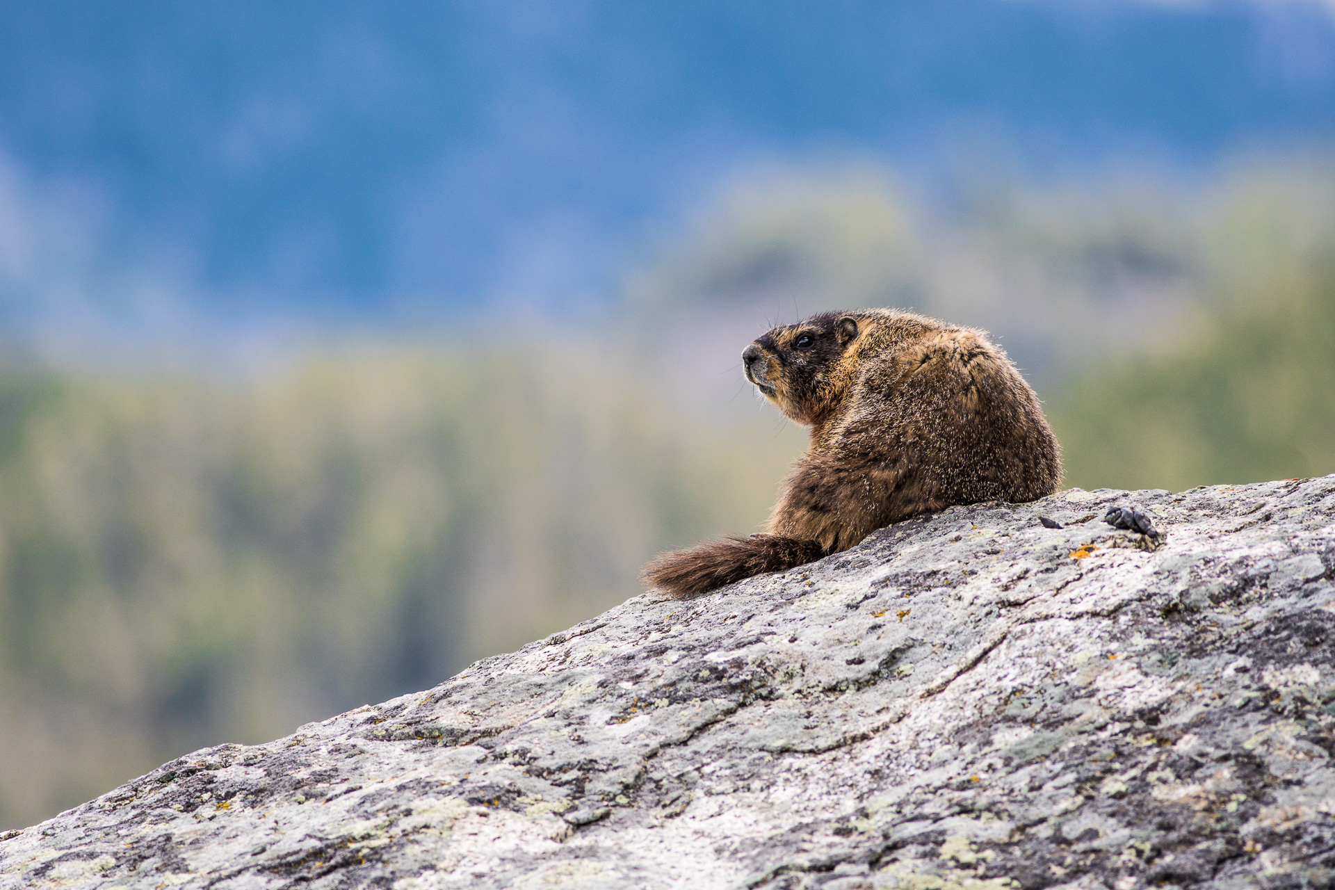 Woodchuck Groundhog Yellowstone National Park WY -06406