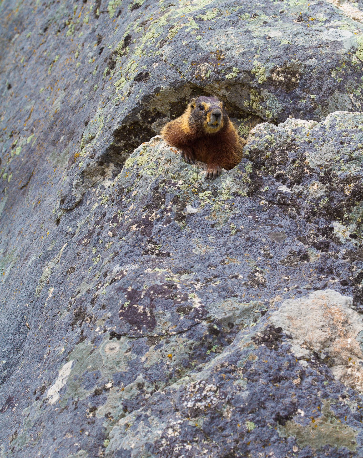 Woodchuck Groundhog Yellowstone National Park WY -0782