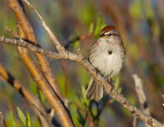 American Tree Sparrow Goose Creek Road Churchill Manitoba Canada-2