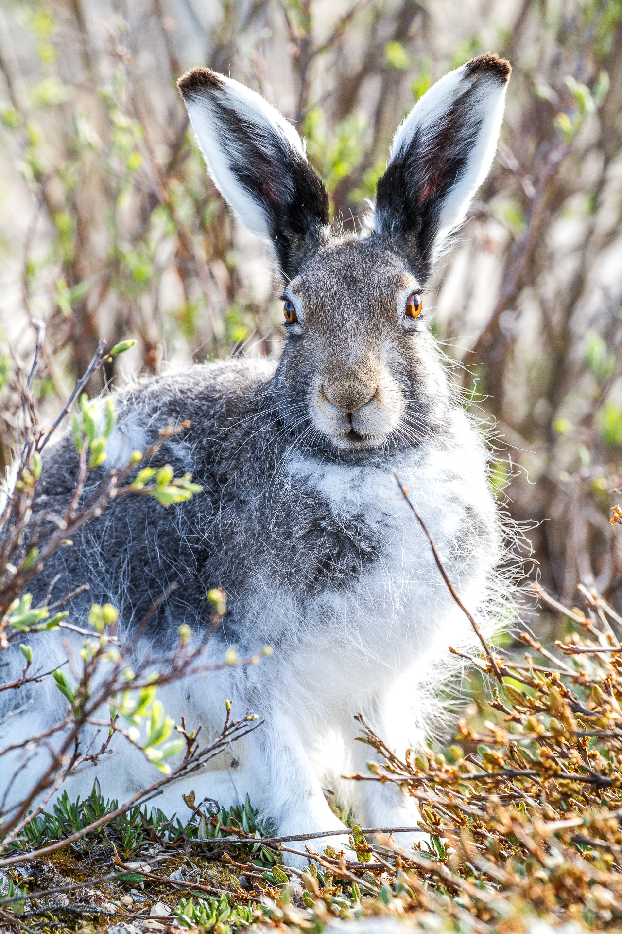 Arctic Hare molting Lepus arcticus Churchill Northern Studies Center Churchill Manitoba Canada-10