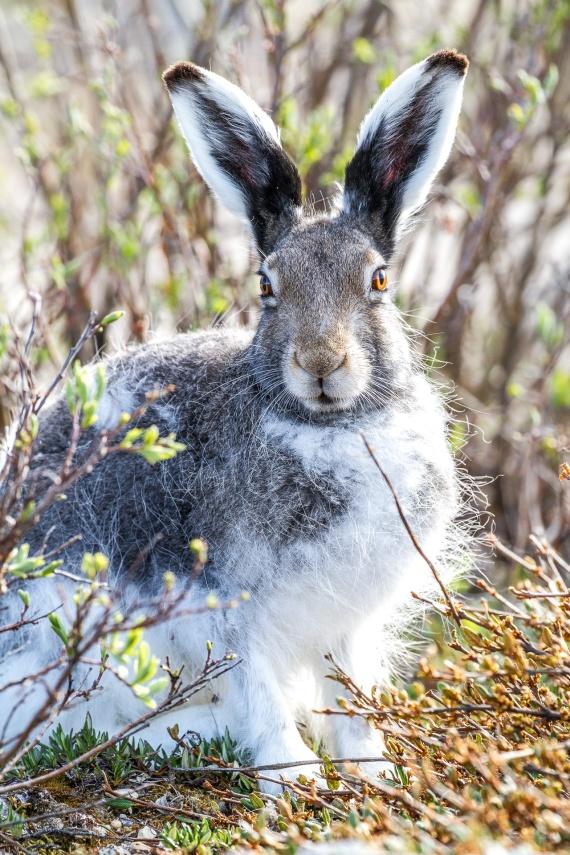 Arctic Hare molting Lepus arcticus Churchill Northern Studies Center Churchill Manitoba Canada-10