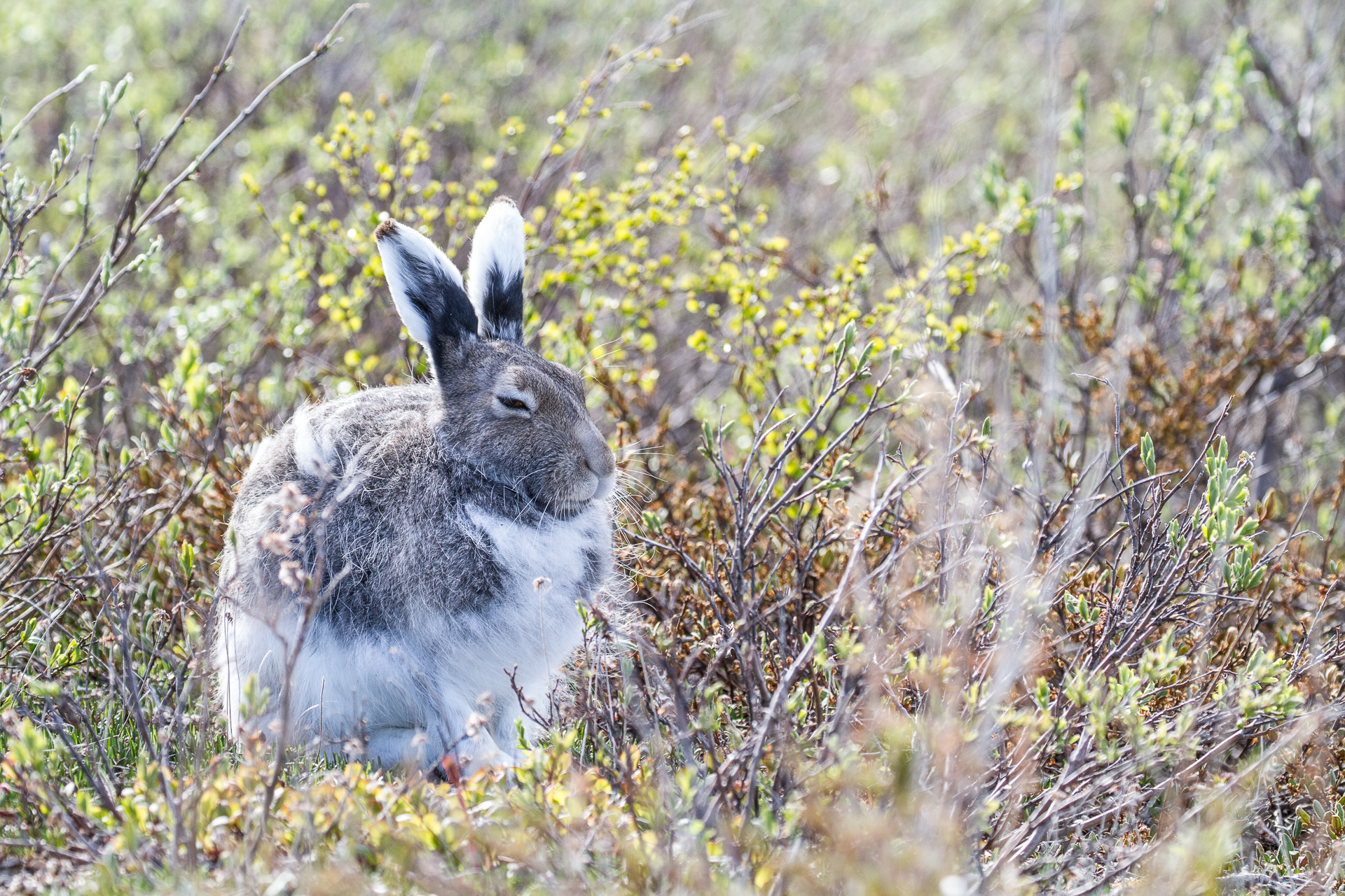 Arctic Hare molting Lepus arcticus Churchill Northern Studies Center Churchill Manitoba Canada-11