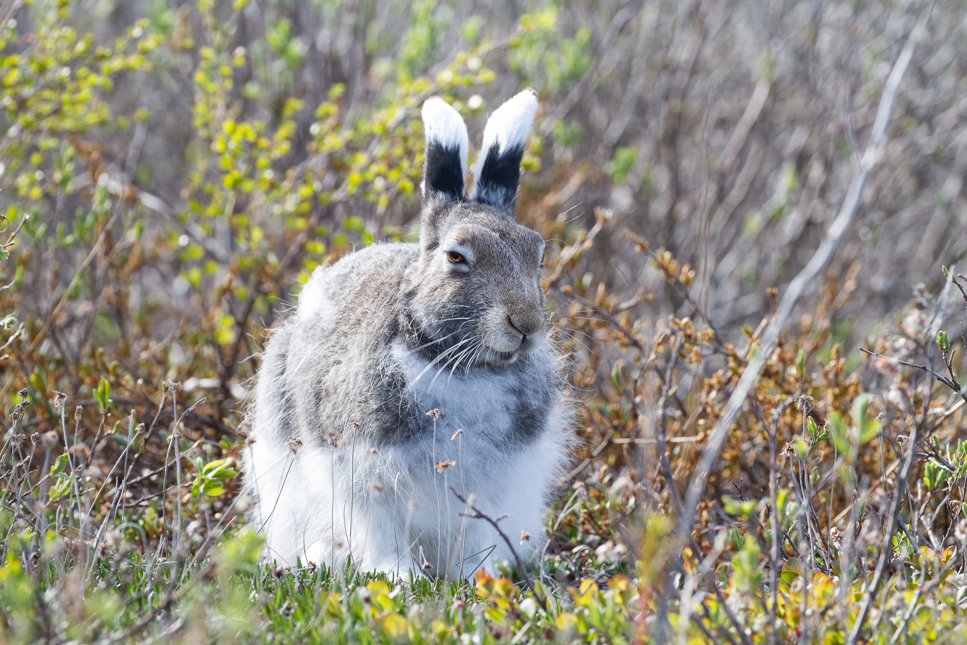 Arctic Hare molting Lepus arcticus Churchill Northern Studies Center Churchill Manitoba Canada-15