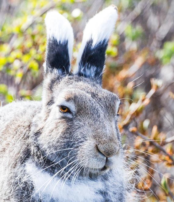 Arctic Hare molting Lepus arcticus Churchill Northern Studies Center Churchill Manitoba Canada-16