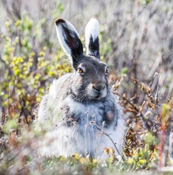 Arctic Hare molting Lepus arcticus Churchill Northern Studies Center Churchill Manitoba Canada-17