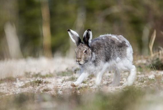Arctic Hare molting Lepus arcticus Churchill Northern Studies Center Churchill Manitoba Canada-2