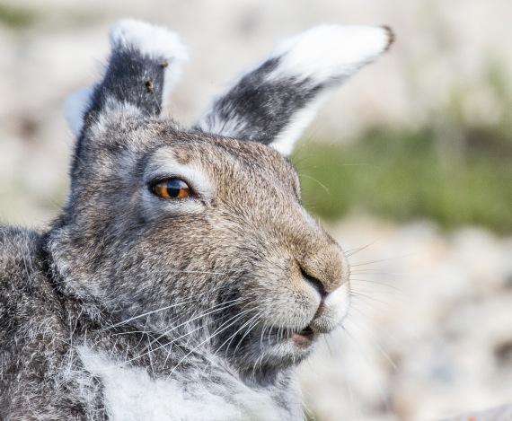 Arctic Hare molting Lepus arcticus Churchill Northern Studies Center Churchill Manitoba Canada-3