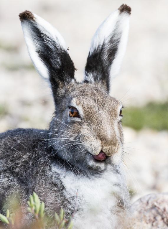 Arctic Hare molting Lepus arcticus Churchill Northern Studies Center Churchill Manitoba Canada-4