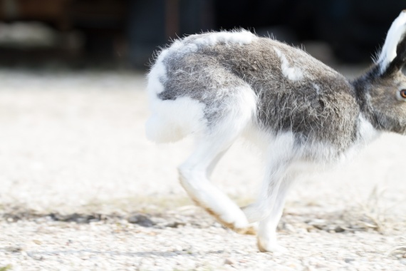 Arctic Hare molting running Lepus arcticus Churchill Northern Studies Center Churchill Manitoba Canada-5