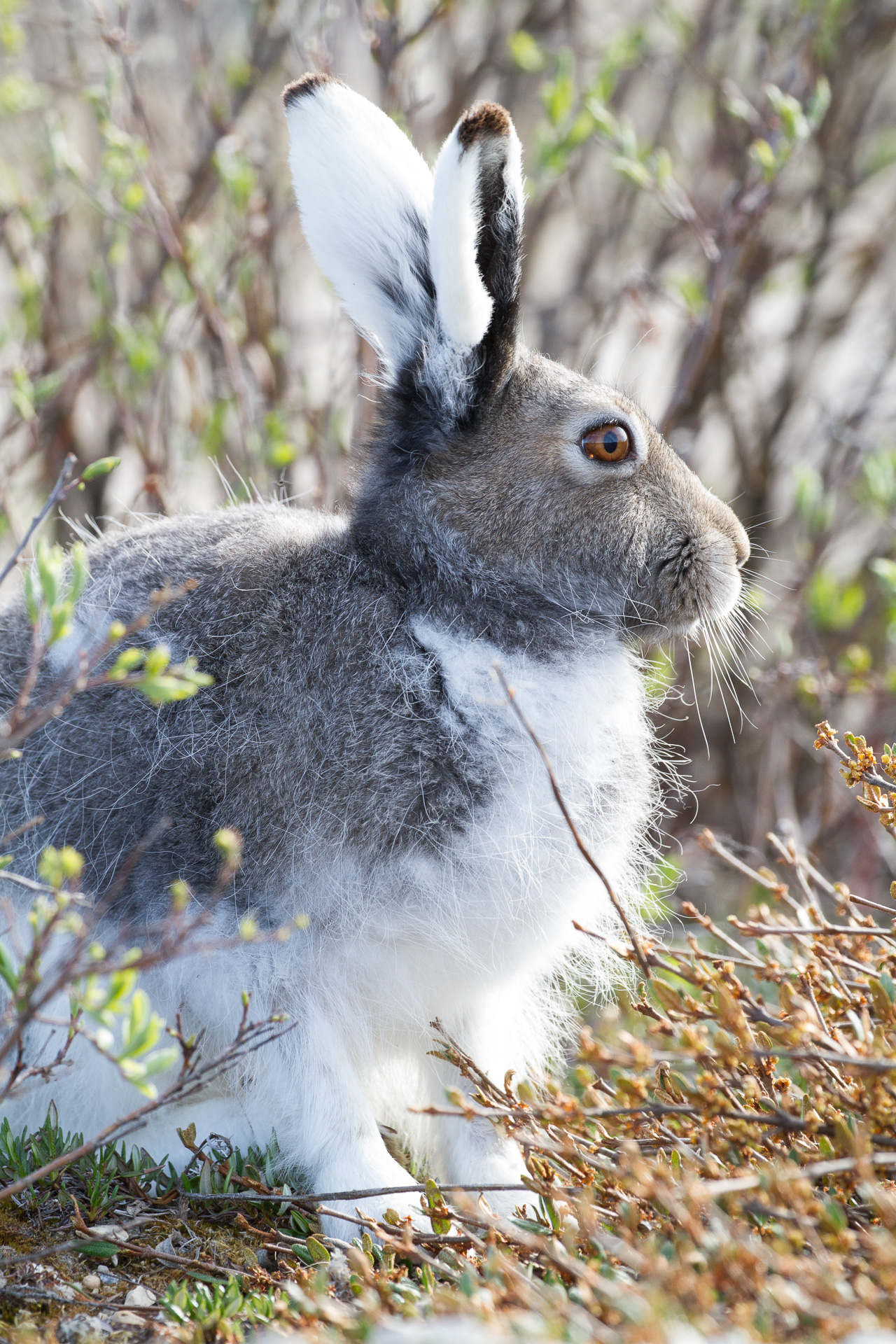 Arctic Hare molting Lepus arcticus Churchill Northern Studies Center Churchill Manitoba Canada-8