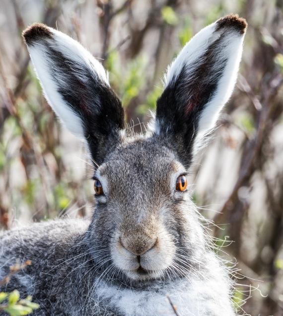 Arctic Hare molting Lepus arcticus Churchill Northern Studies Center Churchill Manitoba Canada-9