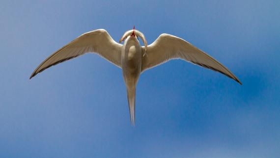 Arctic Tern Cape Merry Hudson Bay Churchill Manitoba Canada-2