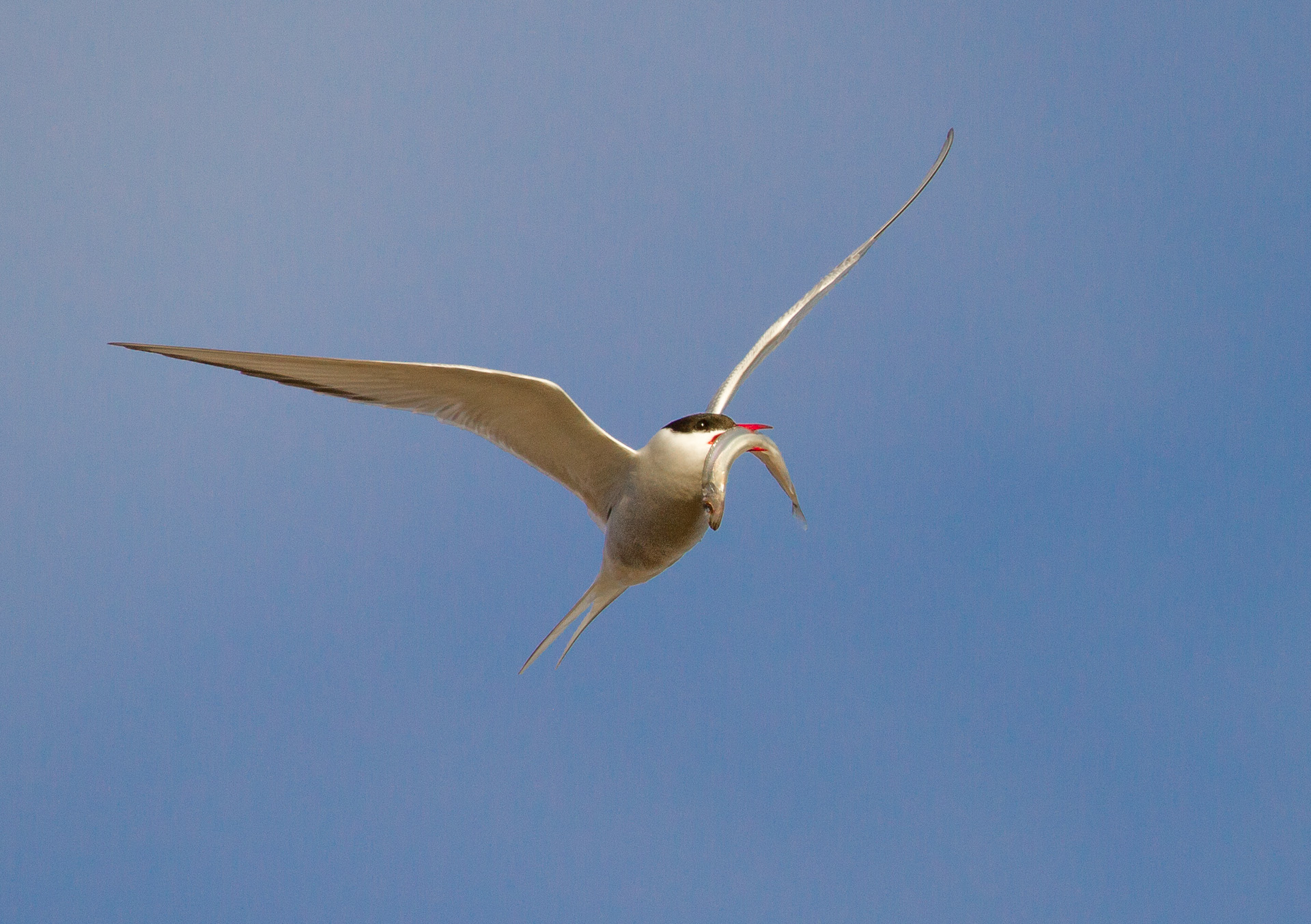 Arctic Tern Cape Merry Hudson Bay Churchill Manitoba Canada