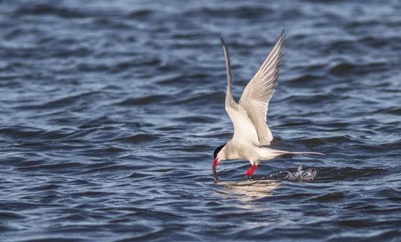 Arctic Tern Hudson Bay Churchill Manitoba Canada